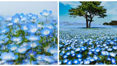 Photo of 4.5 Million Flowers Bloom Across Japanese Park Like a Never-Ending Sea of Blue Lights
