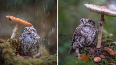 Photo of A Photographer Takes The Portrait Of A Little Owl Sheltering From The Rain Under A Mushroom