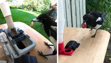Photo of Man Creates Machine That Gives Food To Magpies In Exchange For Waste. He Trains Birds For Recycling