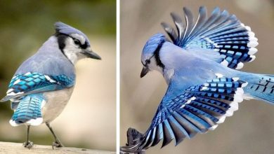 Photo of The Blue Jay. The Bird With Deep Blue Feathers That Can Mimic Human And Animal Sounds