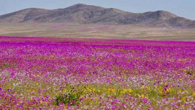 Photo of One Of The Driest Deserts In The World Regains Color After Three Years, With More Than 200 Species Of Flowers