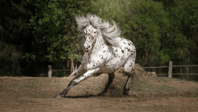 Photo of 20 Beautiful Appaloosa Horse Photos That Will Enhance Your Day