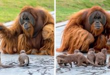 Photo of Orangutans Make A Beautiful Friendship With The Otters At The Zoo While No One Is Around