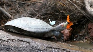 Photo of Magnificent Images Of Butterflies Drinking Turtle Tears. The Photographer Explains Why They Do It