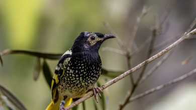 Photo of One Of The Rarest Birds In The World Is Threatened With Extinction. It Can No Longer Sing The Melodies Of Its Species.