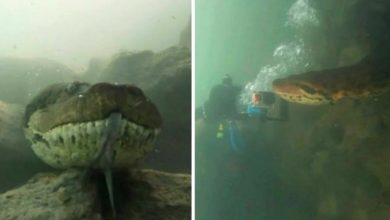 Photo of Two Divers Found Themselves Facing A Gigantic Anaconda.