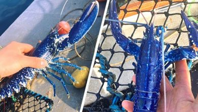 "Photo of A Fisherman Finds A Rare Blue Lobster And Decides To Put It Back In The Sea: ""I Would Never Have Eaten It"""