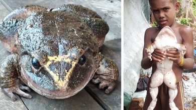 """Photo of A Man Found This Gigantic Frog: """"She Is Almost As Big As A Child"""""""