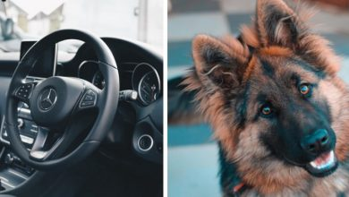 Photo of The Mistress Gets Out Of The Car And The German Shepherd Locks Himself In With The Air Conditioning On.