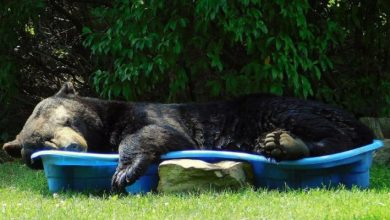 Photo of This Bear Snuck Into A Yard And Took Advantage Of The Pool To Take A Summer Nap.