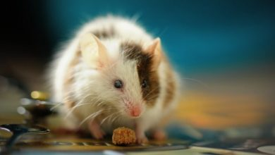 """Photo of Mice """"Sweat"""" Skin Fat, Scientists Accidentally Find Therapy For Weight Loss."""