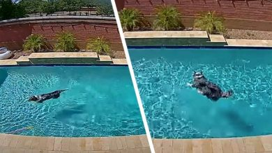 Photo of He Takes Advantage Of The Absence Of His Masters To Use The Pool: The Hilarious Performance Of This Dog.
